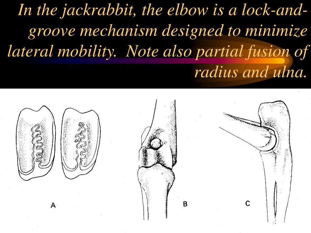 In the jackrabbit, the elbow is a lock-and-groove mechanism designed to minimize lateral mobility.  Note also partial fusion of radius and ulna.
