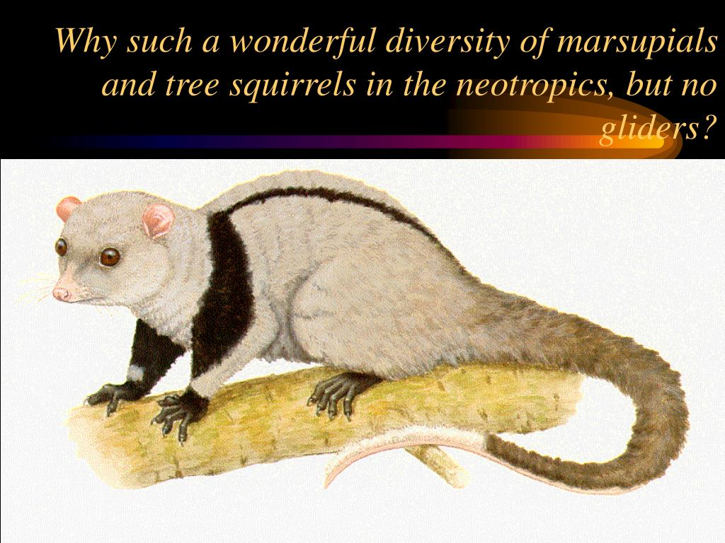 Why such a wonderful diversity of marsupials and tree squirrels in the neotropics, but no gliders?