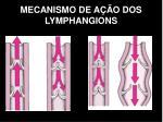 mecanismo de a o dos lymphangions