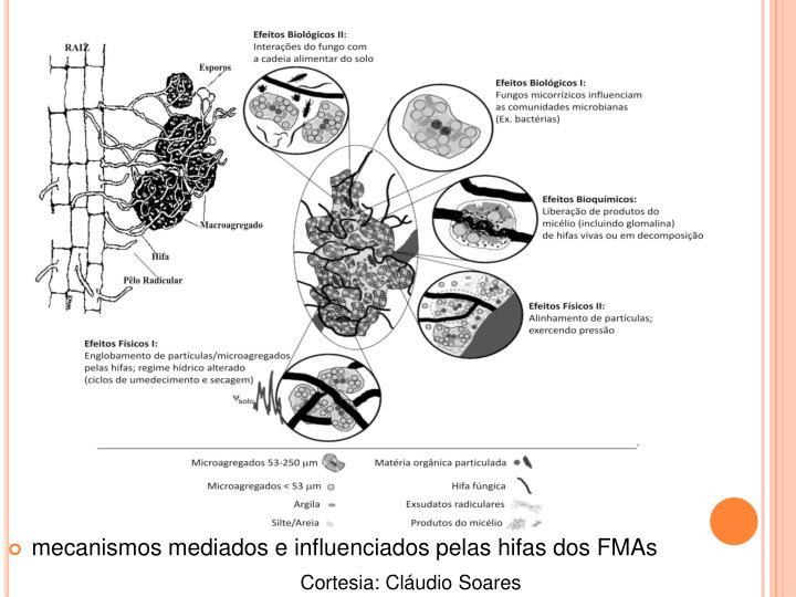mecanismos mediados e influenciados pelas hifas dos FMAs