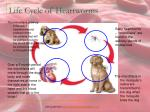 life cycle of heartworms