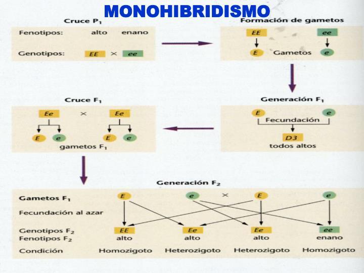 MONOHIBRIDISMO