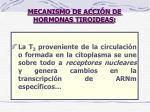 mecanismo de acci n de hormonas tiroideas