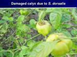 damaged calyx due to s dorsalis