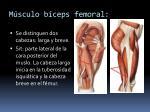 m sculo b ceps femoral