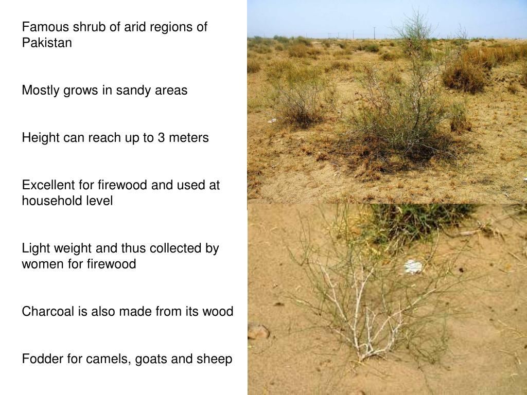Famous shrub of arid regions of Pakistan