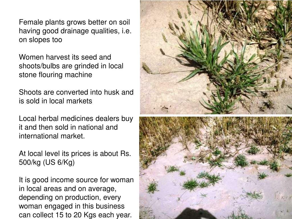 Female plants grows better on soil having good drainage qualities, i.e. on slopes too