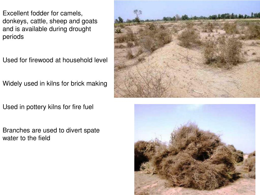 Excellent fodder for camels, donkeys, cattle, sheep and goats and is available during drought periods