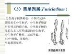 3 fusicladium