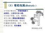 5 botrytis