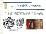 5 cytospora