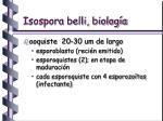 isospora belli biolog a