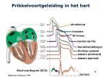 prikkelvoortgeleiding in het hart8