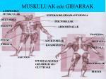muskuluak edo giharrak