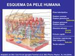 esquema da pele humana