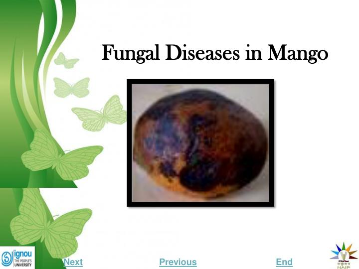 fungal diseases in mango n.