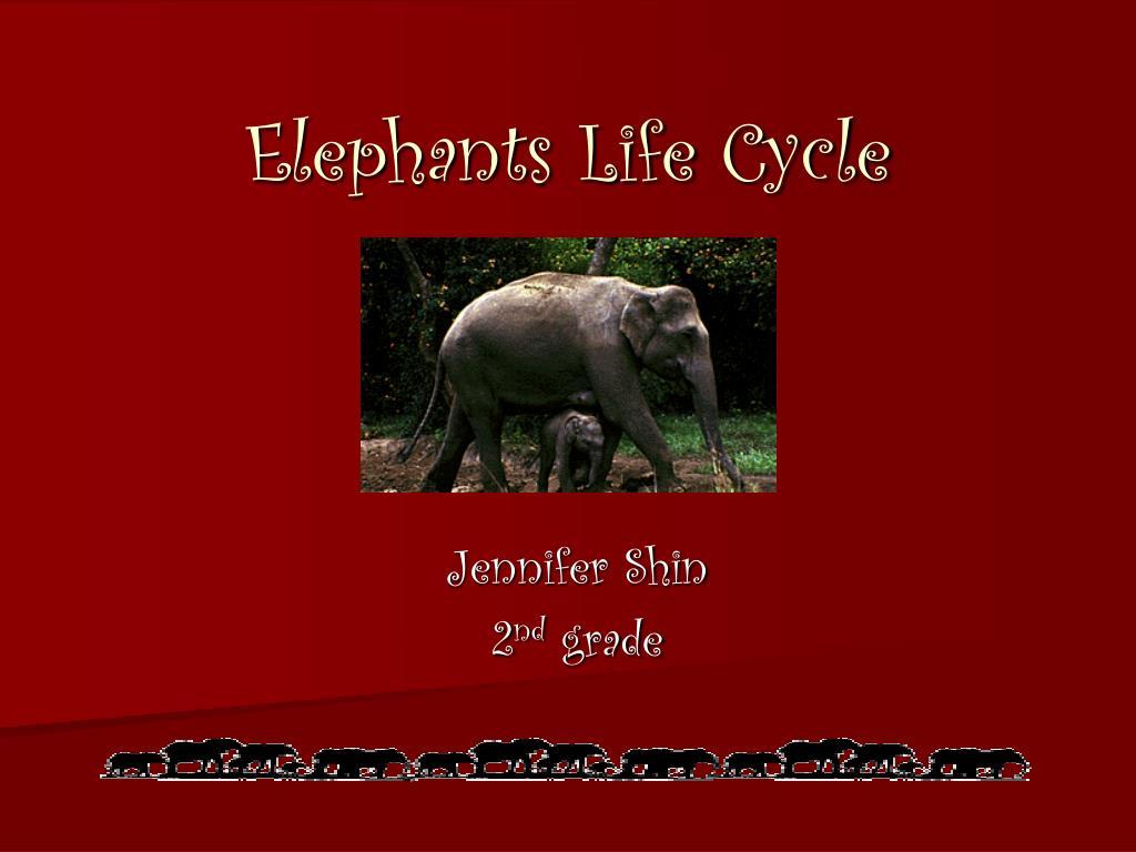 elephants life cycle l.