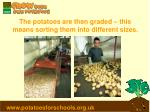 the potatoes are then graded this means sorting them into different sizes