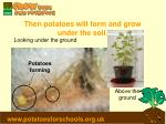 then potatoes will form and grow under the soil