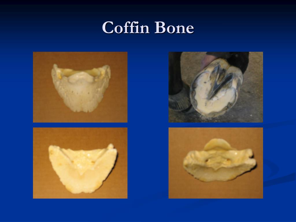 Coffin Bone