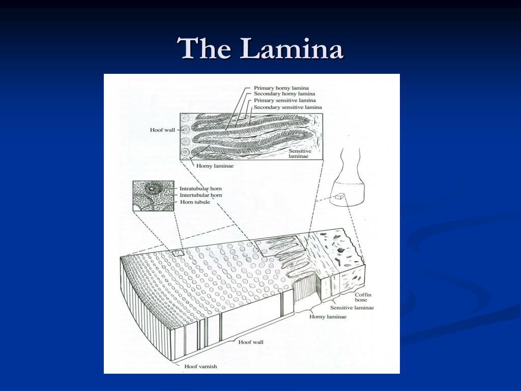 The Lamina