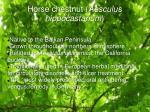 horse chestnut aesculus hippocastanum