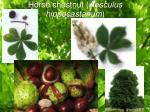 horse chestnut aesculus hippocastanum5