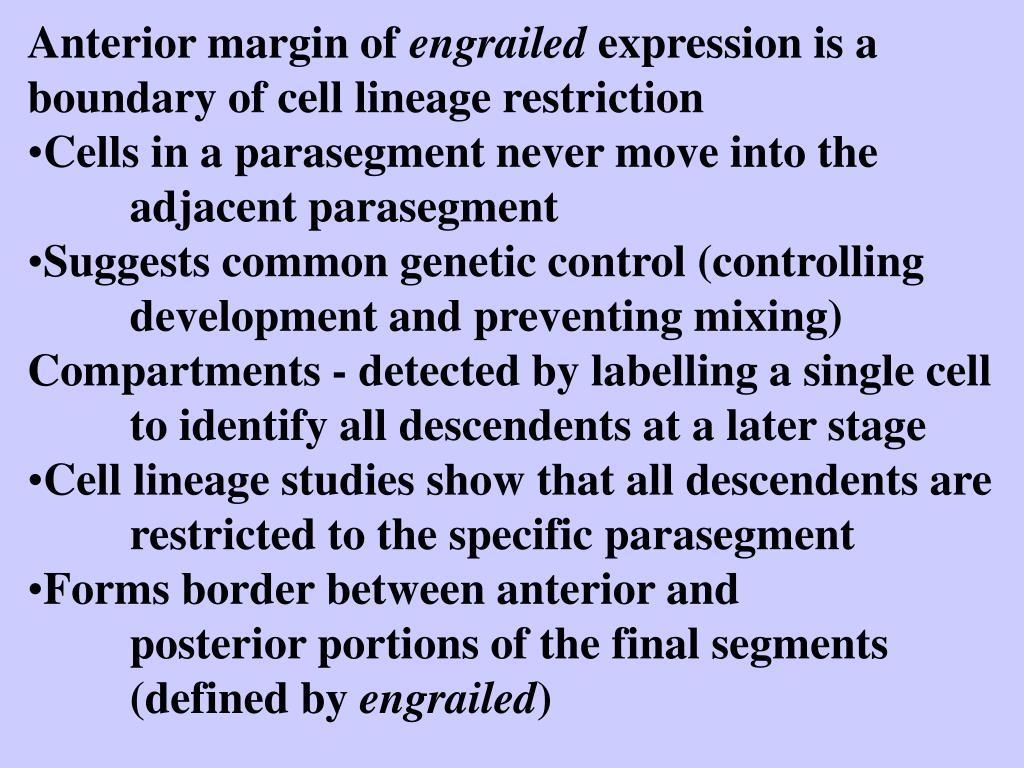 Anterior margin of