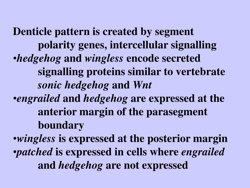 Denticle pattern is created by segment polarity genes, intercellular signalling