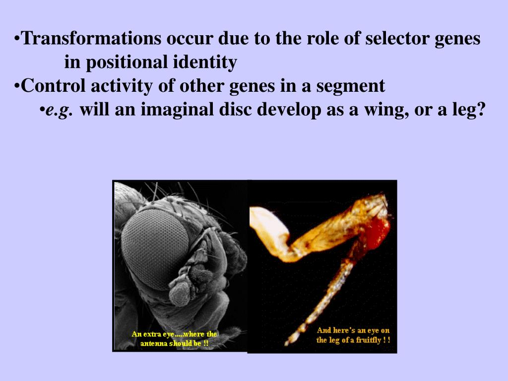 Transformations occur due to the role of selector genes in positional identity