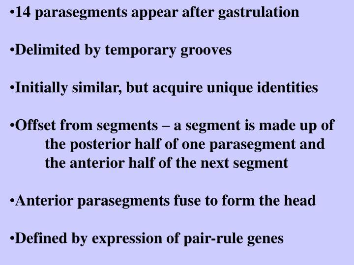 14 parasegments appear after gastrulation