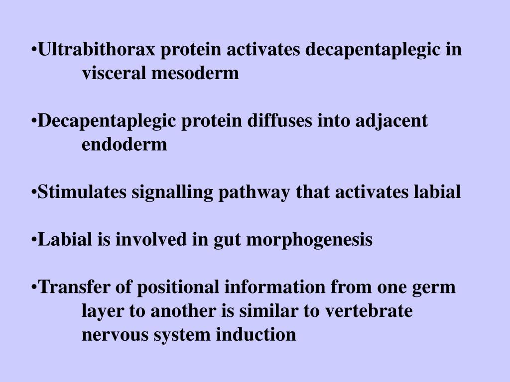 Ultrabithorax protein activates decapentaplegic in visceral mesoderm