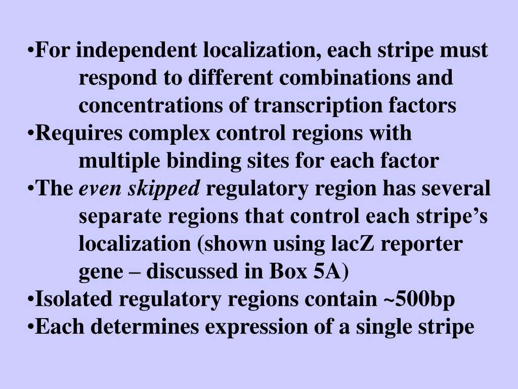 For independent localization, each stripe must respond to different combinations and concentrations of transcription factors