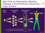 stem cells are regulated by signaling pathways to build the body s tissues and organ systems