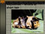abyssinian whorls of short hair