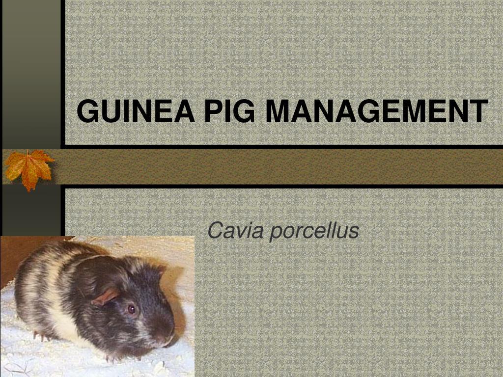 guinea pig management l.