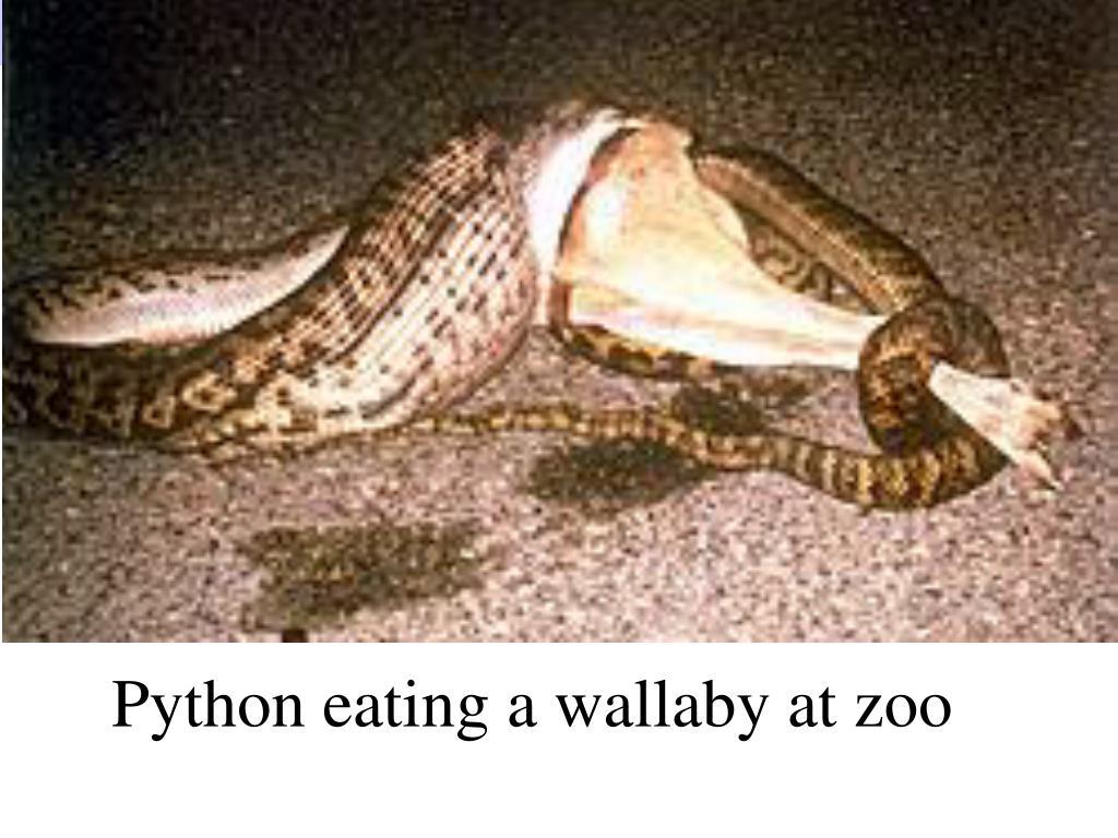 Python eating a wallaby at zoo