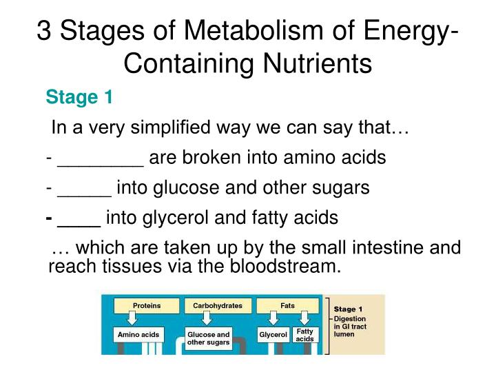 3 Stages of Metabolism of Energy-Containing Nutrients