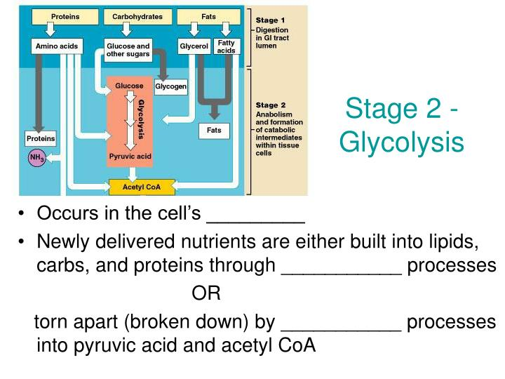 Stage 2 - Glycolysis