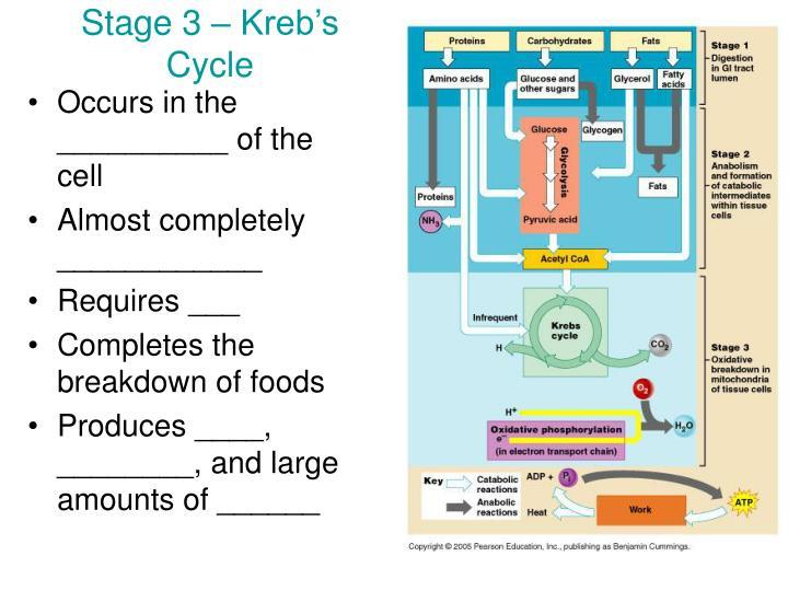 Stage 3 – Kreb's Cycle