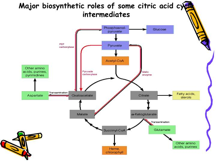 Major biosynthetic roles of some citric acid cycle intermediates