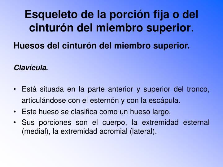 Esqueleto de la porción fija o del cinturón del miembro superior