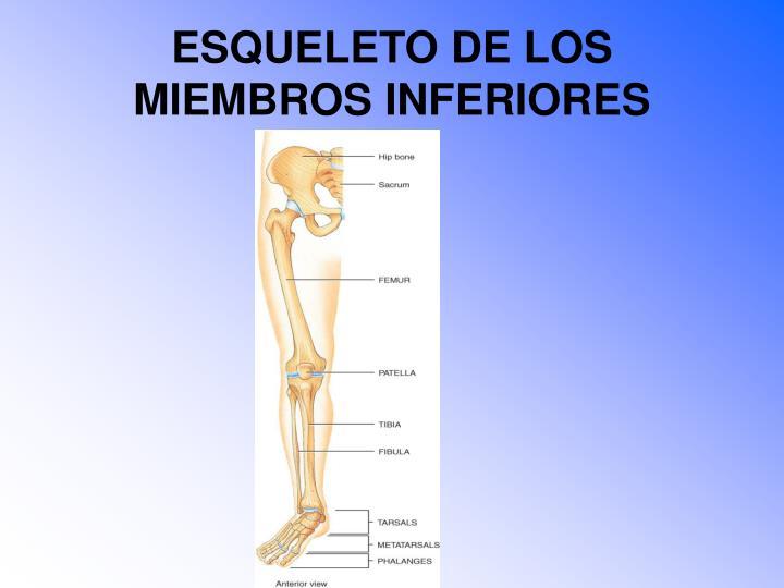 ESQUELETO DE LOS MIEMBROS INFERIORES