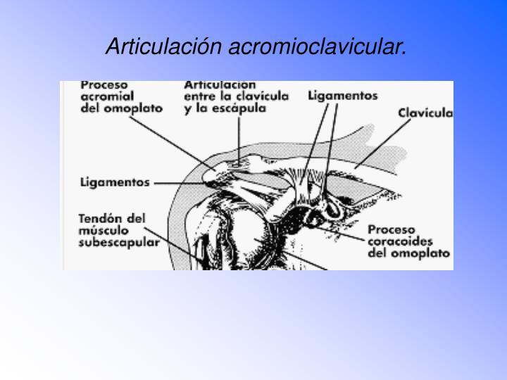 Articulación acromioclavicular.