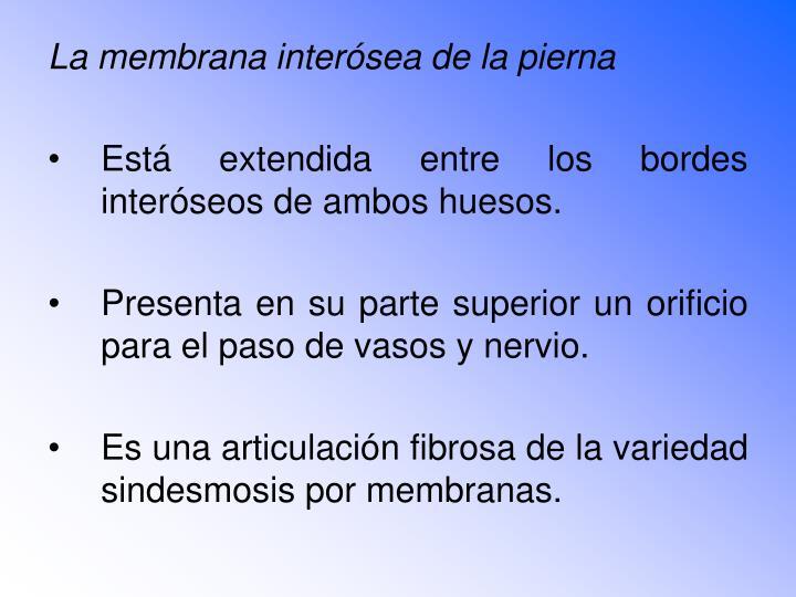 La membrana interósea de la pierna