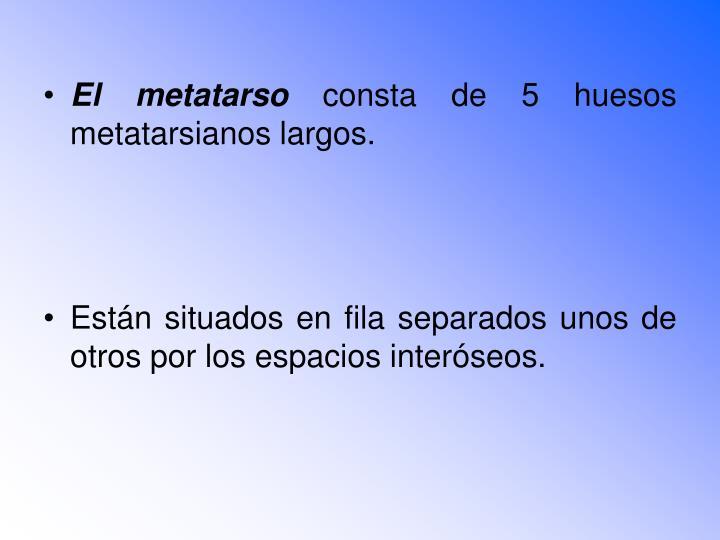 El metatarso
