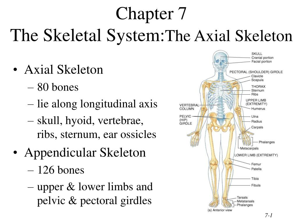 Ppt Chapter 7 The Skeletal System The Axial Skeleton Powerpoint