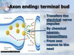 axon ending terminal bud