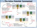 the action potential summarized