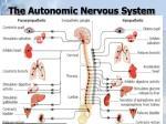the autonomic nervous system1